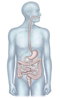 Poster-DigestiveSystem-Flat