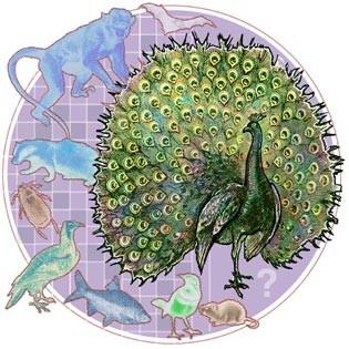 274_peacockwebsave